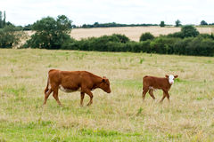English cow. Grazing in the countryside Royalty Free Stock Image
