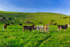 English cows and bulls Royalty Free Stock Photography