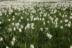 English daffodil field pale lemon Royalty Free Stock Images
