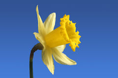 English daffodil flower. Stock Images