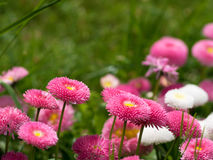 English Daisies - Bellis Perennis. English Daisies or Bellis Perennis in a garden Stock Photos