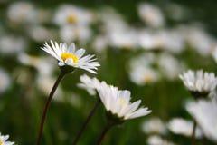 English daisies Royalty Free Stock Images