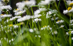 English daisies Stock Images