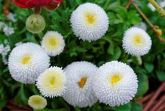 English daisies white bloom in garden Royalty Free Stock Photo