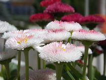 English Daisies. White-pink English Daisies with pink daisies on the background Royalty Free Stock Photo