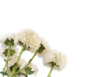 English Daisy or Royalty Free Stock Images