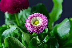 English Daisy stock photography