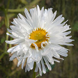 English daisy (Bellis perennis). In the garden Royalty Free Stock Image