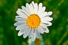 English daisy / Bellis perennis. Big white English daisy flower viewed from top Stock Photo