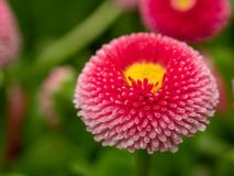 Pink English daisies - Bellis perennis - in spring park. Detaile. English daisy or bellis perennis plant with colorful pink and white flowers macro closeup Royalty Free Stock Image