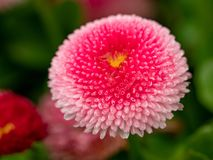 Pink English daisies - Bellis perennis - in spring park. Detaile. English daisy or bellis perennis plant with colorful pink and white flowers macro closeup Royalty Free Stock Photography