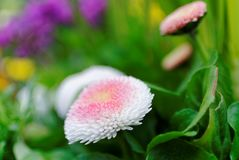English daisy bloom in garden with spider silk. Close-up of a Bellis perennis, the Pomponette mix - white petals with pink center. At bloom in a colorful garden royalty free stock photography
