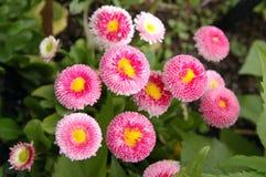 English Daisy flower. Many beautiful English Daisy flowers in garden Stock Image