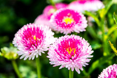 English daisy flower in chiangmai Thailand Stock Photography