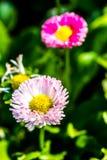 English daisy flowers  in chiangmai Thailand.  Royalty Free Stock Photos