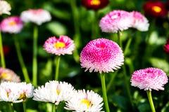 English daisy flowers  in chiangmai Thailand.  Royalty Free Stock Image