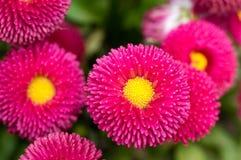 Pink English Daisy Red Pom Pom Flowers. Springtime show of Bellis Polar Red English Daisy flowers Royalty Free Stock Photos