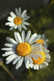 English daisy Royalty Free Stock Images