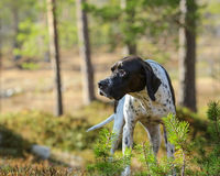 English dog pointer. Hunting in the forest Royalty Free Stock Images