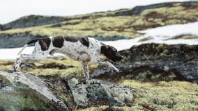 English dog pointer. Hunting in the mountains stock image