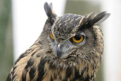 English Eagle Owl. Head and shoulders view of an English Eagle Owl Royalty Free Stock Images