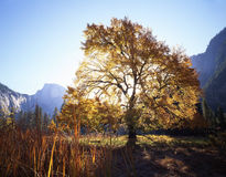 English Elm & Half Dome Horizontal. English Elm tree in Yosemite Valley, Yosemite National Park stock image