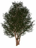 English or European yew, taxus baccata tree - 3D Stock Photo