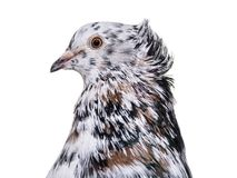 English Fantail pigeon close up against white background. Isolated on white Stock Photo
