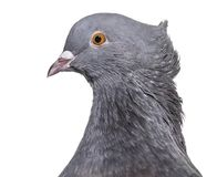 English Fantail pigeon, close up against white background. Isolated on white Royalty Free Stock Image
