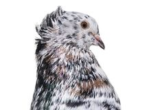 English Fantail pigeon in profile against white background. Isolated on white Stock Image