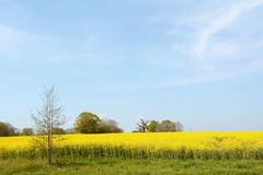 English farm field full of bright yellow rapeseed stock image