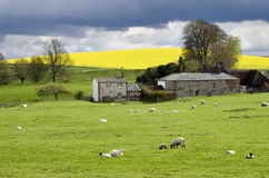 English farmland in springtime. Typical English countryside with grazing lambs, lash field storm clouds, Avebury, Wiltshire, England Stock Photography