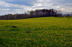 English field covered with dandelions. Royalty Free Stock Images