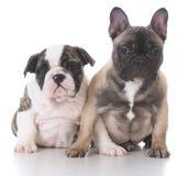 English and french bulldog puppies Stock Photo