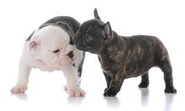 English and french bulldog puppies. On white background Stock Photo