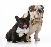English and french bulldogs Stock Images