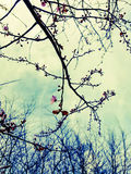 English garden first blossom tree bud opening. Art nature sky outdoors pretty branches trees blossom Royalty Free Stock Photos