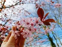 English garden. First signs of spring blossom tree branch close up with a hand holding a single branch. Blue sky background Royalty Free Stock Images