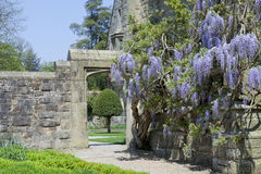 English garden with flowering wisteria on stone wall. Purple flowering wisteria climbing a stone house wall by a gate in an English garden, springtime stock photo