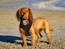 English Golden Cocker Spaniel Royalty Free Stock Photos