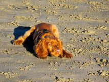 English Golden Cocker Spaniel Stock Photos