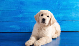 English Golden Retriever Puppy on Blue Wood Royalty Free Stock Images