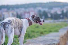 English grayhound standing. English greyhound standing on a stone wall beside a field Royalty Free Stock Photography