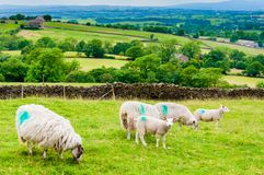 English grazing sheep in countryside Royalty Free Stock Photos