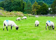 English grazing sheep in countryside Stock Images