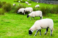 English grazing sheep in countryside Stock Photo