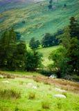 English grazing sheep in countryside Stock Image