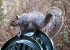 English grey Squirrel Royalty Free Stock Photo