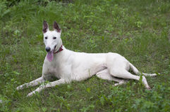 English greyhound dog relaxing Royalty Free Stock Photos