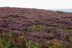 English Heathland In Summer  Stock Photos